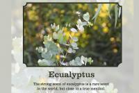 Eucalyptus scent