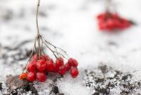 twigs and berries